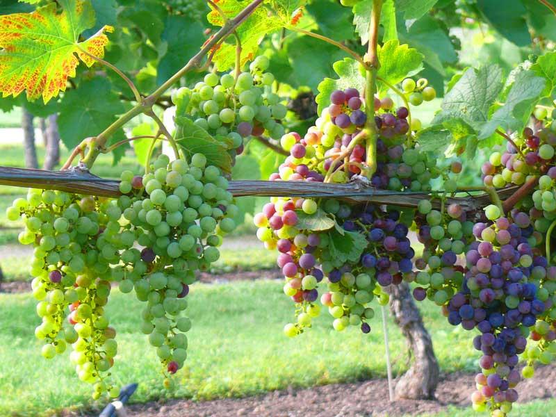 Виноделие и вина Германии. Саксония - экскурсия AndyGo